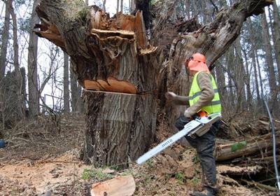 Фото: Как срезать дерево бензопилой