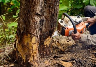 Фото: Как правильно повалить дерево бензопилой - разбор технологии