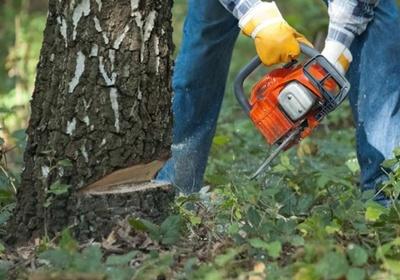 Фото: Как правильно срезать дерево бензопилой: особенности валки
