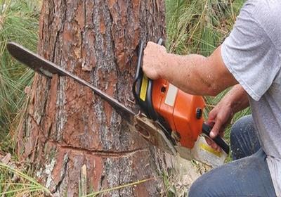 Фото: Как правильно валить деревья бензопилой